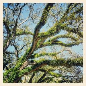 really live oaks